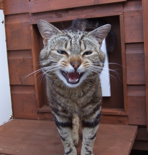New cat listed for rescue at the Borders Pet Rescue - Josh