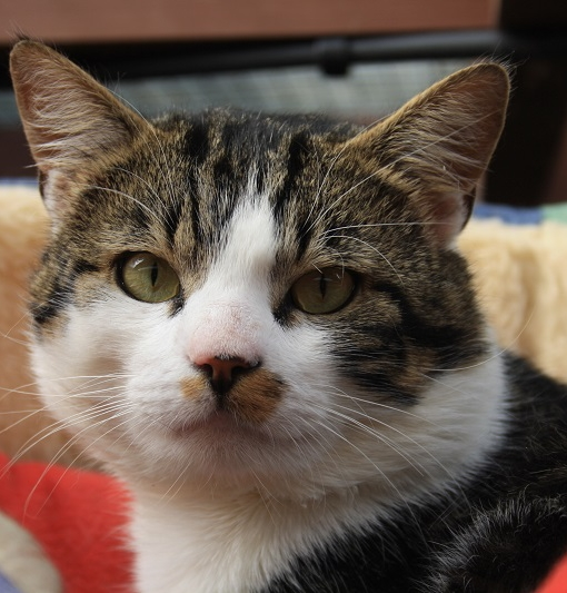 New cat listed for rescue at the Borders Pet Rescue - Percy