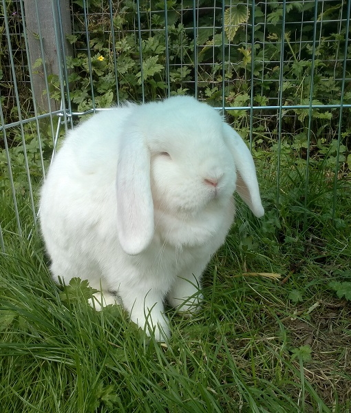 New rabbit listed for rescue at the Borders Pet Rescue - Luna