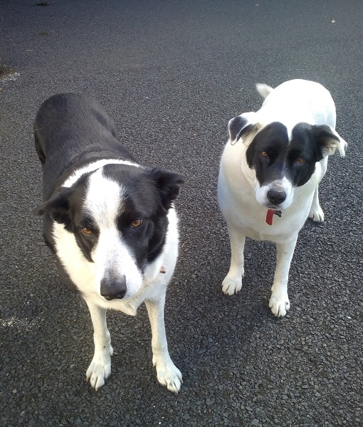 New dogs listed for rescue at the Borders Pet Rescue - Shep & Sky