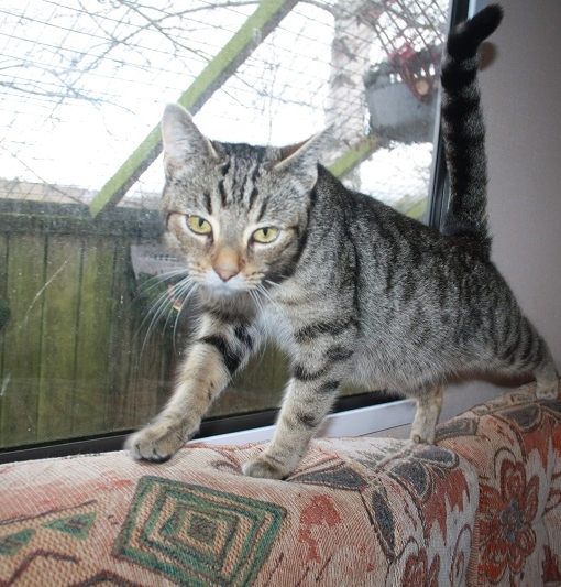 New cat listed for rescue at the Borders Pet Rescue - Willow