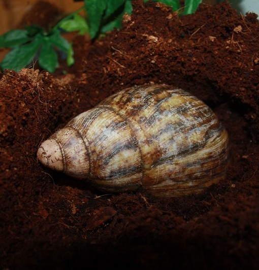 snail - curly shell