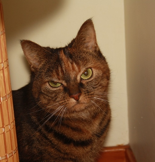 New cat listed for rescue at the Borders Pet Rescue - Sheba