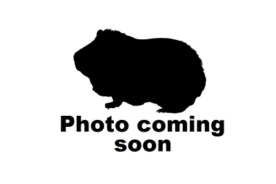 Guinea pig coming soon