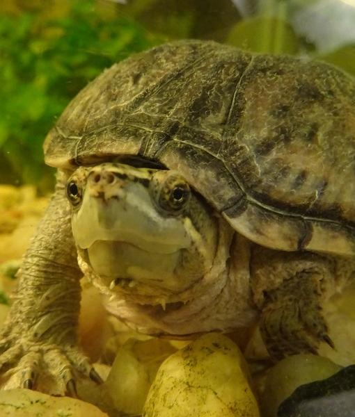 Musk turtles - Borders Pet Rescue