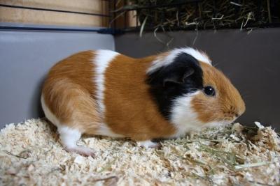 IMG_5631 guinea pig