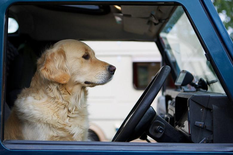 van driver dog